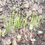 Spring onions seedlings