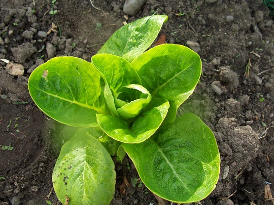 Lettuce 28/04/08