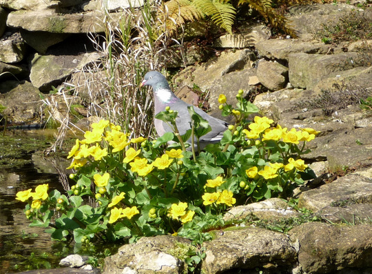 Wood pigeon and Marsh Marigold