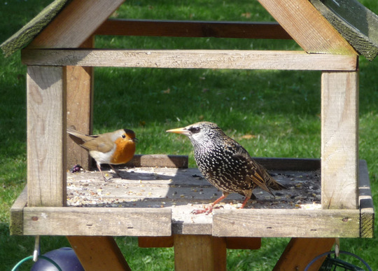Starling and friend.