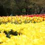 Fields_of_tulips_small_