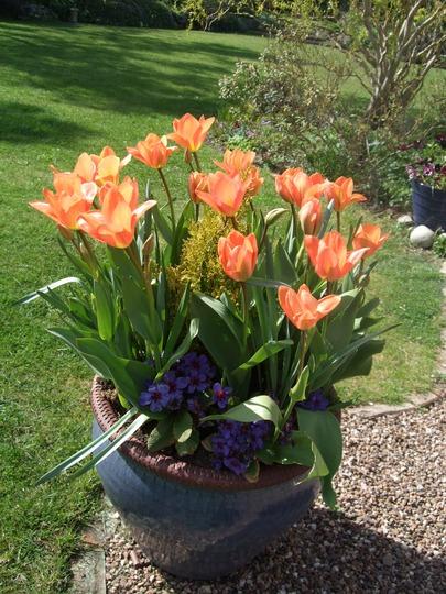 Large blue pot (Tulipa)