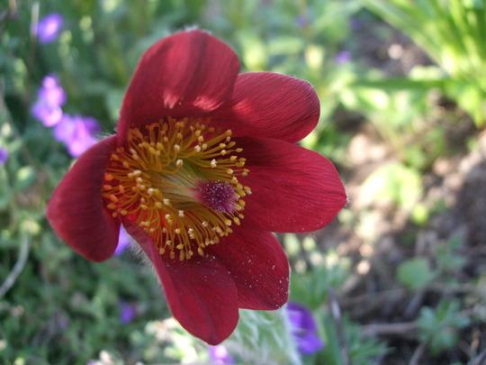 Pulsatilla vulgaris 'Rubra' (Pulsatilla vulgaris (Pasque flower))