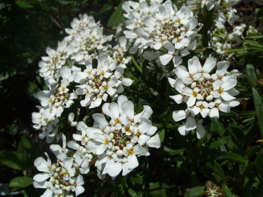 Iberis sempervirens 'Snowflake' (Iberis sempervirens (Candytuft))