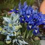 Living with Harmony (Iris reticulata)