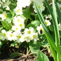 Primrose with busy bee
