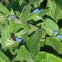 Borago officinalis (Borage)