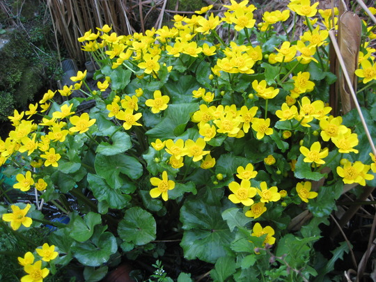 Caltha Palustris~water buttercup in my bottom pool!
