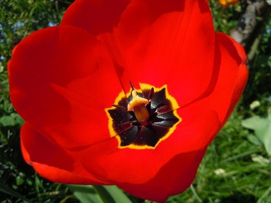 Tulips_from_Ashford_2.jpg