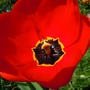 Tulips_from_ashford_2