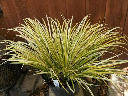 Carex elata ' Aurea '