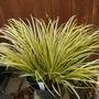 Carex_elata_aurea_