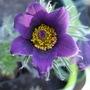 Purple Pulsatilla vulgaris (Pulsatilla vulgaris (Pasque flower))