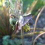 Aquilegia viridiflora (Aquilegia viridiflora)
