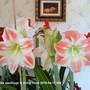 Amaryllis seedlings in living room 2010-04-17 002. (Amaryllis Hippeastrum)