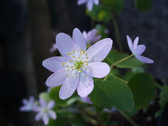 Anemonella thalictroides f. 'Rosea' (Anemonella thalictroides (Wood Anemone))