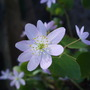 Anemonella_thalictroides_f._rosea_