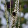 Bumble bee on Veronicastrum virginicum