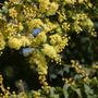 ACACIA in flower 17.4.10 (Acacia pravissima)