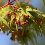 ACER awakening 17.4.10 (Acer palmatum (Japanese maple))