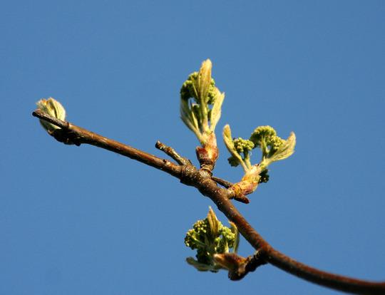 ROWAN 17.4.10 (Sorbus aucuparia (Mountain ash))