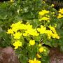 Caltha palustris (Marsh Marigold)