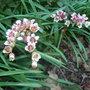 Bergenia ciliata - 2010 (Bergenia ciliata)