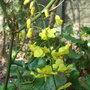 Epimedium pinnatum subsp colchicum -  2010 (Epimedium pinnatum subsp colchicum)