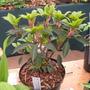 Trochodendron Aralioides!