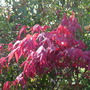 Acer_palmatum_in_the_sun