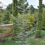 Blue Atlas Cedar (Cedrus atlantica (Blue Atlas cedar))