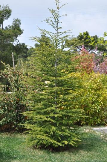 Cedar (Cedrus libani (Cedar of Lebanon))