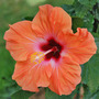 Orange Hibiscus (Hibiscus)