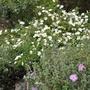 Rock Roses (Cistus laurifolius)