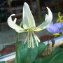 Erythronium californicum 'White Beauty' (close-up) - 2010 (Erythronium californicum 'White Beauty')
