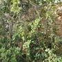 Osmanthus (Osmanthus x burkwoodii (Osmanthus))