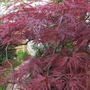 Acer Palmatum 'Red Dragon' (Acer Palmatum 'Red Dragon')