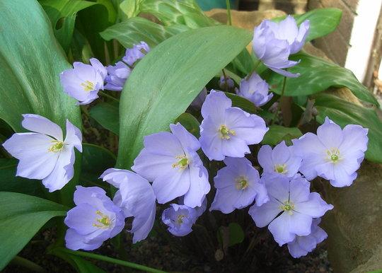 Jeffersonia dubia - 2010 (Jeffersonia dubia)