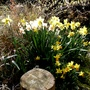 Daffodills in the Spring Border
