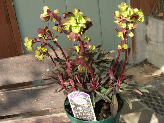 Euphorbia  ' Purpurea' (Euphorbia amygdaloides (Wood spurge))
