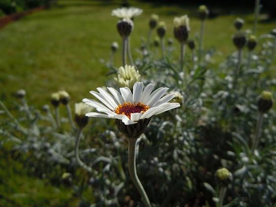 Treacle_Tart_flower.jpg