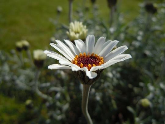 Treacle_Tart_flower_2.jpg
