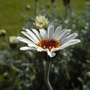 Treacle_tart_flower_2