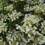 Viburnum Tomentosum 'Mariesii.' (Viburnum Plicatum Tomentosum 'Mariesii.')
