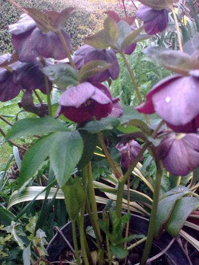 Christmas Rose (Helleborus niger (Christmas rose))