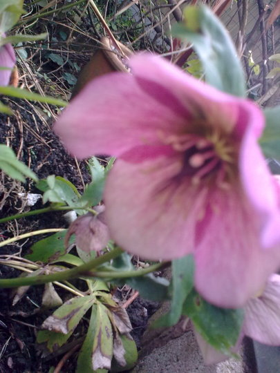 Another Christmas Rose