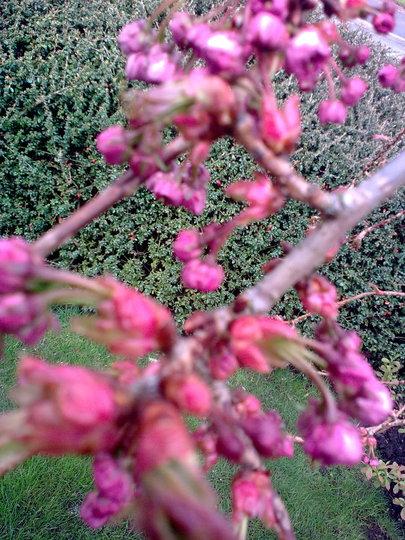 More Cherry blossom to come