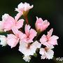 Pelargonium 'Madame Thibaut' (Pelargonium 'Madame Thibaut')