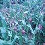Sweetcorn (Z. rugosa)