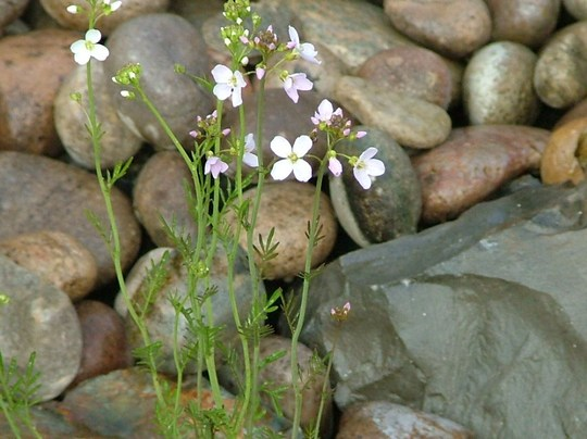 ladys smock, pond plant